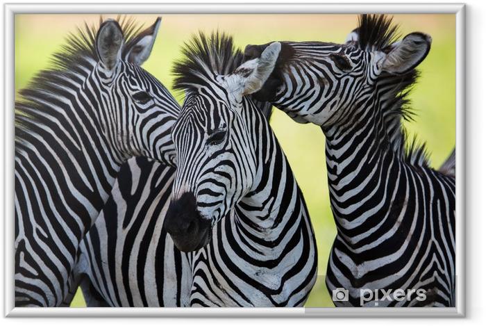 Plakat w ramie Zebry całuje i kuląc - Zwierzęta
