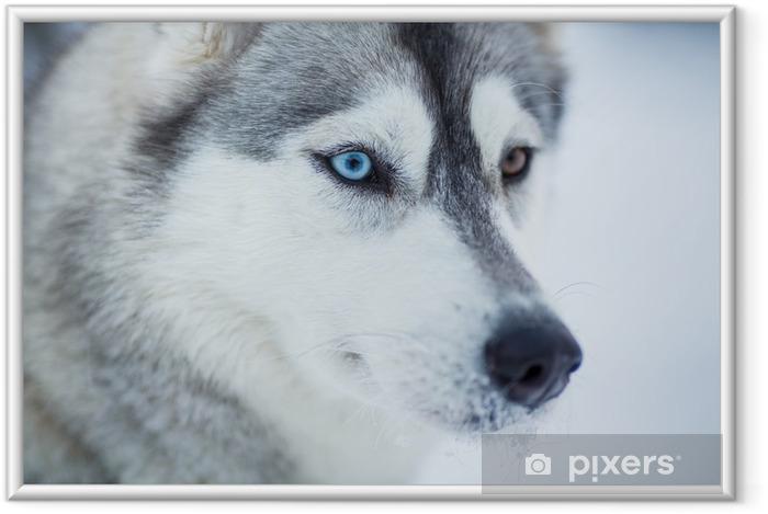 Ingelijste Poster Siberische husky hond close-up portret - Poolhonden