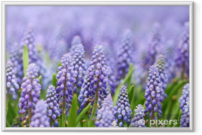 Ingelijste Poster Paarse blauwe druifjes - Bloemen