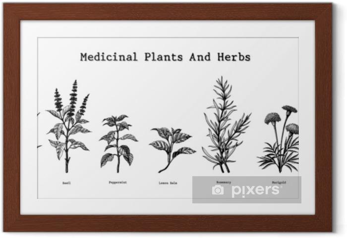 Çerçeveli Poster Şifalı bitkiler ve otlar el antika gravür illüstrasyon çizimi - Çiçek ve bitkiler