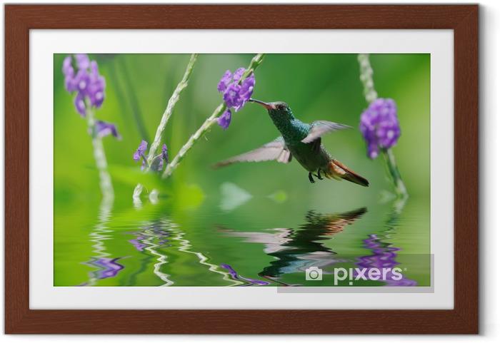 Ingelijste Poster Mooie kolibrie in reflectie - Vogels