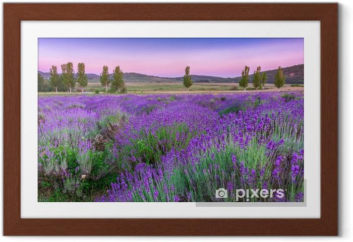 Plakat w ramie Zachód słońca nad letnim polem lawendy - Zioła