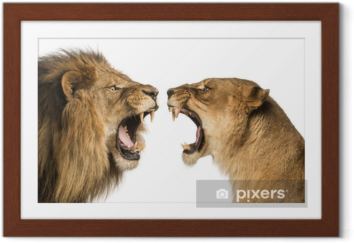 Plakat w ramie Close-up z Lion i Lioness ryk na siebie - Tematy