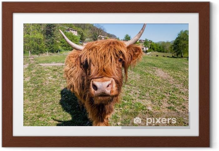 Poster en cadre Écossais de vache Highland sur le pré - Agriculture