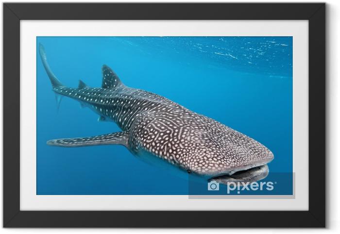 Valaanhain Kehystetty juliste - Sharks