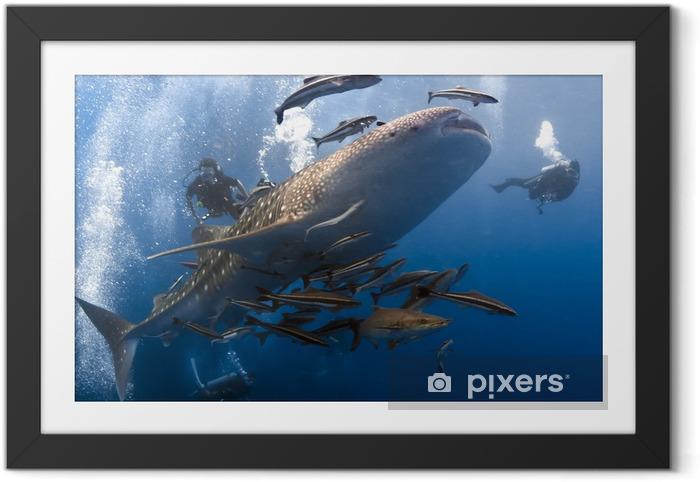 Whaleshark ja sukeltajien vedenalainen Kehystetty juliste -