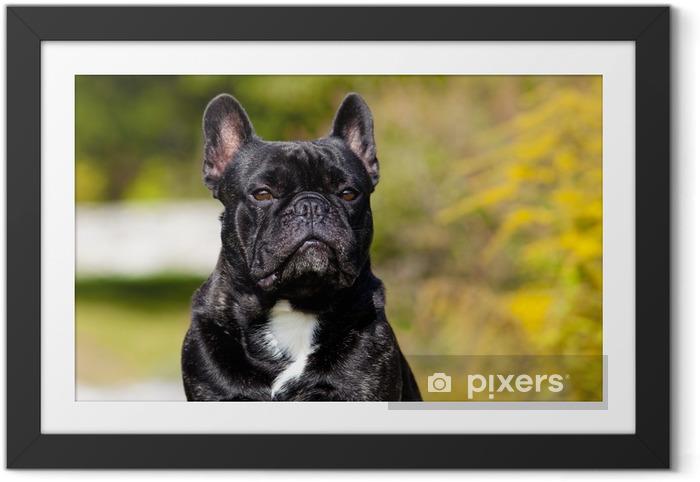 Plakat w ramie Frensch Mężczyzna Portret Bulldog - Buldogi francuskie