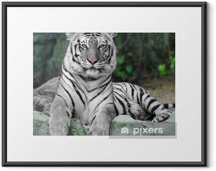 Plakat w ramie Biały tygrys na skale w zoo - iStaging