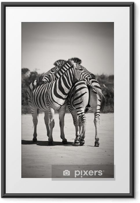Gerahmtes Poster Zebra Liebe - Zebras