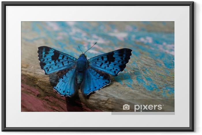 Plakat w ramie Niebieski motyl, amazon - Zwierzęta