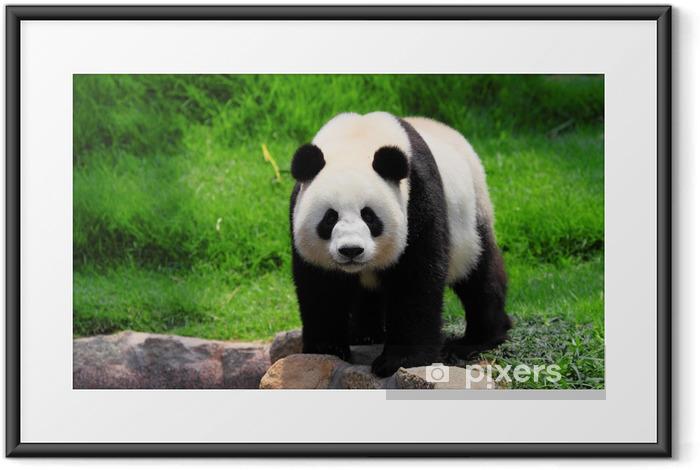Ingelijste Poster Panda - Panda's