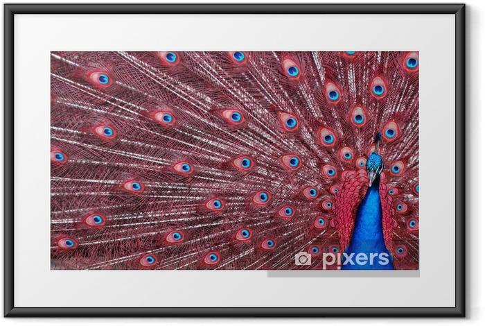 Ingelijste Poster Pauw met rode veren - Vogels