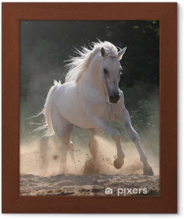 Póster Enmarcado Caballo blanco corre al galope en polvo - Temas