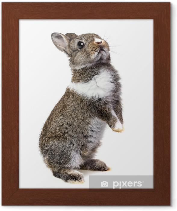 Póster Enmarcado Conejito bebé - Conejos