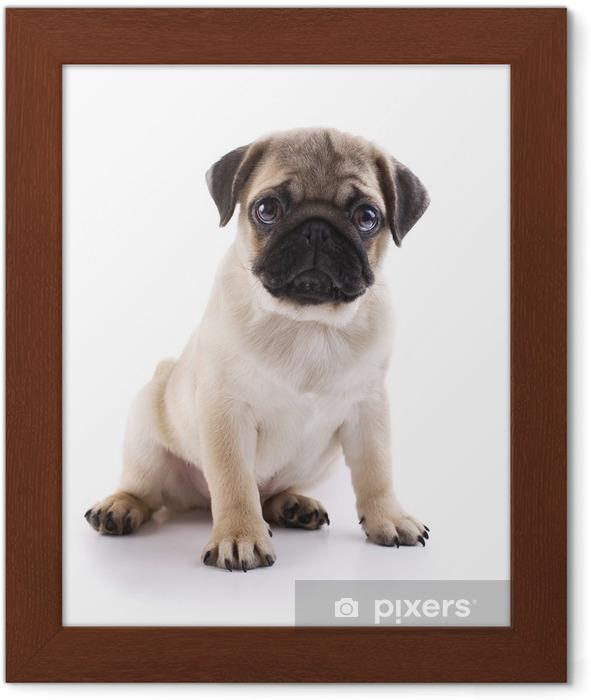 Poster in Cornice Pug cucciolo - Adesivo da parete
