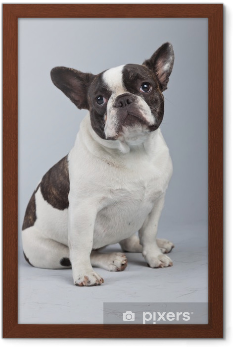 French bulldog black and white isolated against grey background. Framed Poster - French bulldogs