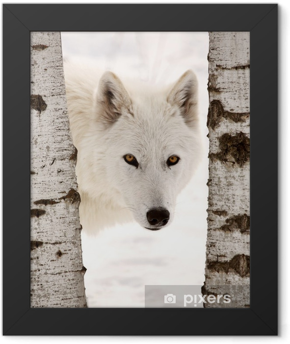 Arctic Wolf seen between two trees in winter Framed Poster -