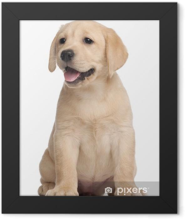 Poster en cadre Labrador puppy, 7 semaines, en face de fond blanc - Sticker mural