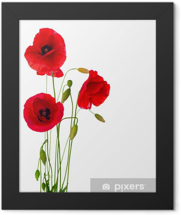 Plakat w ramie Czerwony kwiat maku na białym tle - Przeznaczenia
