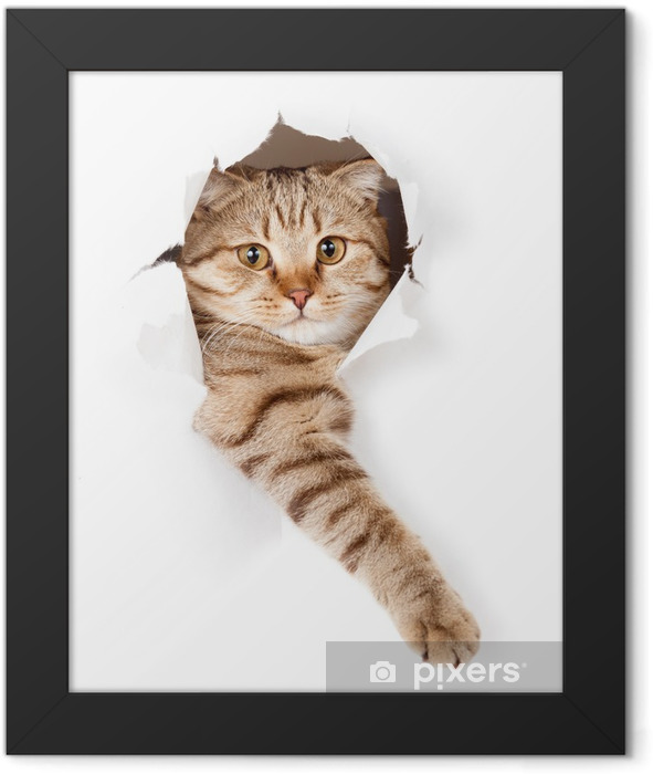Plakat w ramie Kot w białym tapety dziury -
