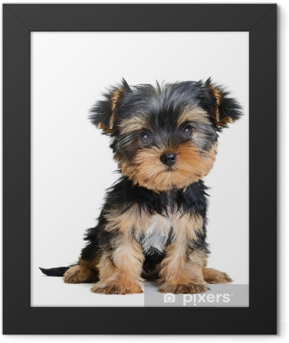 yorkshire terrier Framed Poster - Wall decals