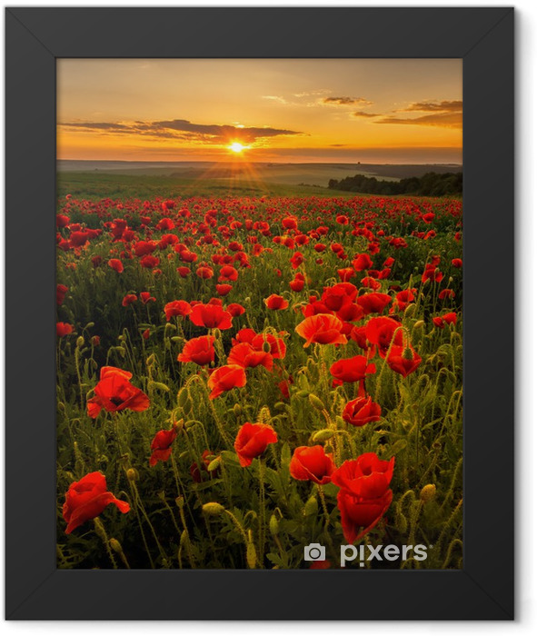 Plakat w ramie Pole makowe o zachodzie słońca -