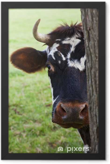 Normandy Cow Looking Out From Behind a Tree Framed Poster - Mammals