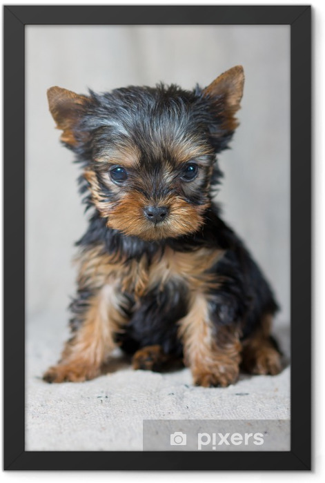Poster en cadre Chiot Yorkshire Terrier - iStaging