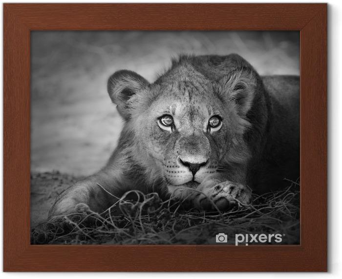 Poster en cadre Portrait Jeune lion -