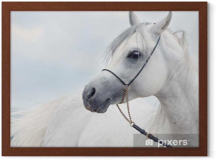 Poster en cadre Portrait doux de blanc magnifique étalon arabe à ciel Fond - Thèmes