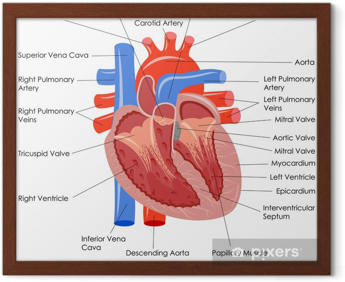 Vector Illustration Of Diagram Of Human Heart Anatomy Framed Poster
