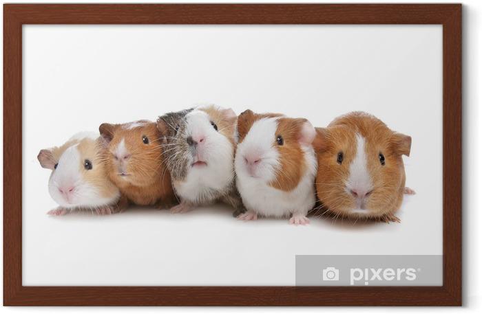 Poster en cadre Cinq cochons d'Inde - Mammifères