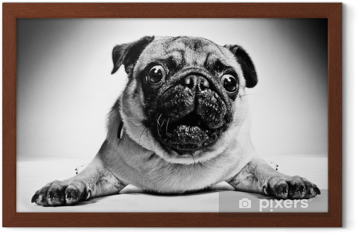 Black and white portrait of a pug Framed Poster - Pugs