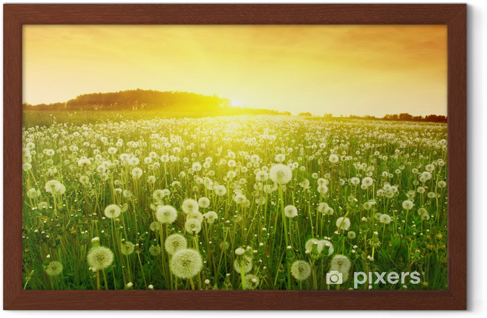 Dandelions in meadow during sunset. Framed Poster - Themes