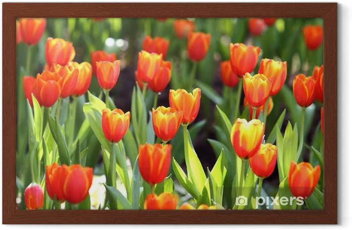 Gerahmtes Poster Farbigen Tulpe auf Natur-Hintergrund - Themen