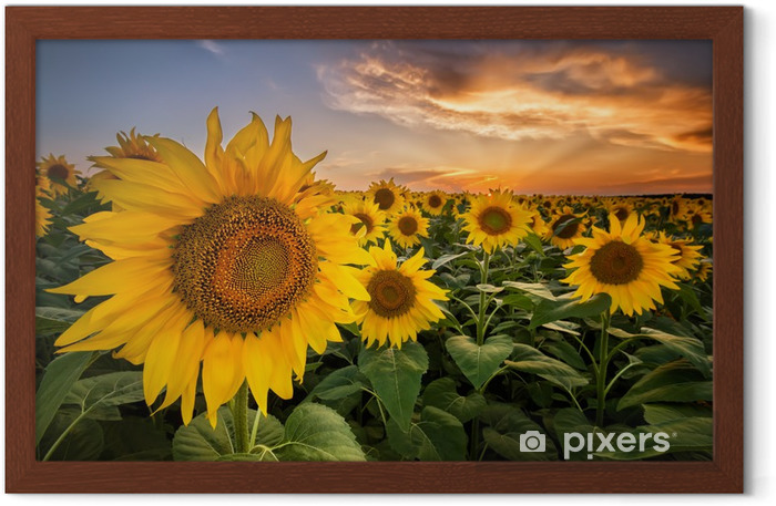 Beautiful sunset over a sunflower field Framed Poster - Themes