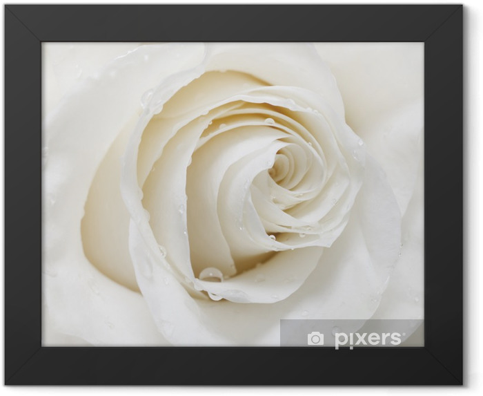 white rose Framed Poster - iStaging