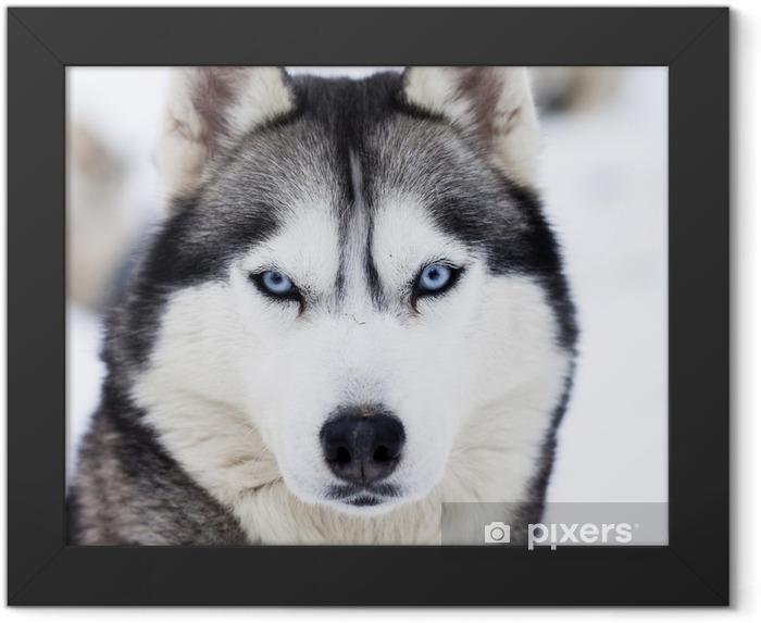 Poster en cadre Gros plan sur les yeux bleus de husky - Husky