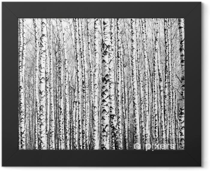 Plakat w ramie Wiosenne pnie brzozy czerni i bieli - Style