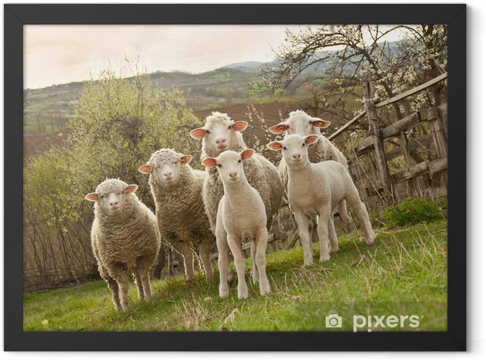 Poster in Cornice Pecore e agnelli al pascolo - Mammiferi