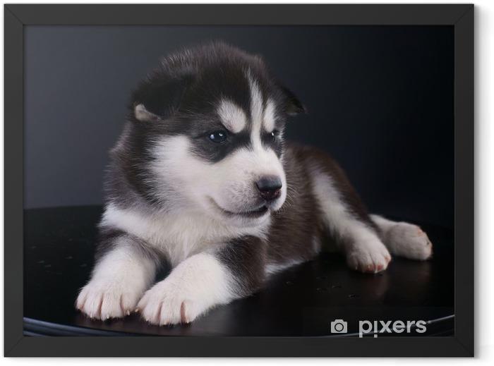 Plakat w ramie Śliczne Siberian Husky puppy - Husky