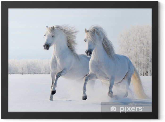 Two white horses gallop in the snow Framed Poster - Styles