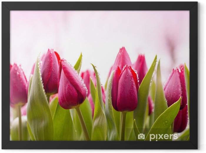 Plakat w ramie Świeże tulipany z kropli rosy - Tematy