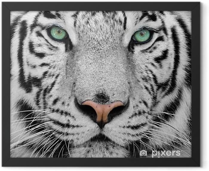 white tiger Framed Poster -