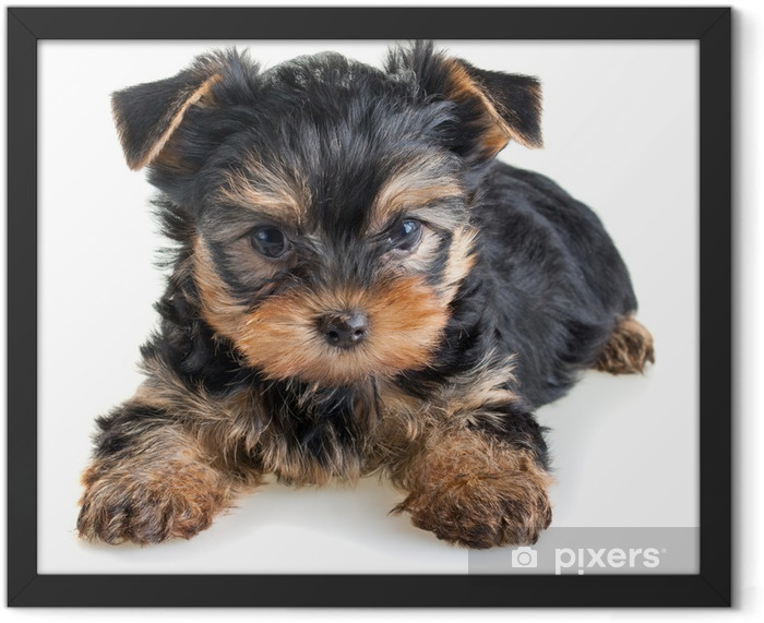 Yorkshire Terrier puppy Framed Poster - iStaging