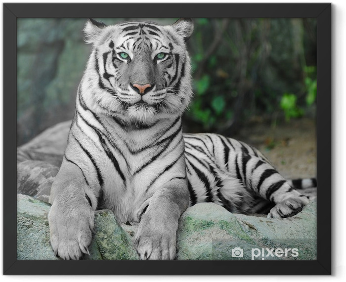 WHITE TIGER on a rock in zoo Framed Poster - iStaging