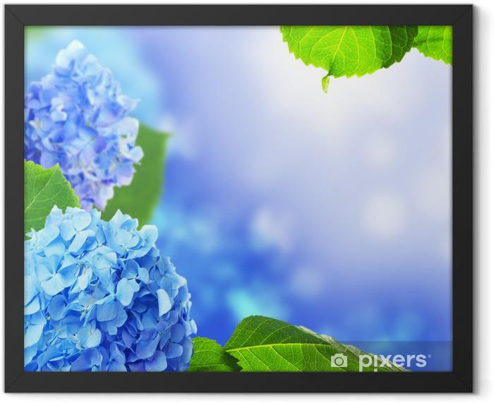 Beautiful hydrangea flowers on a blue background. Framed Poster - Flowers