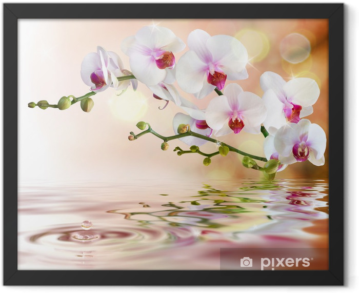 white orchids on water with drop Framed Poster -