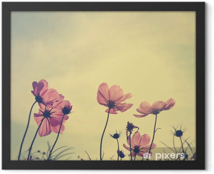 Vintage Cosmos flowers in sunset time Framed Poster - Styles