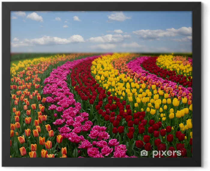 Dutch colorful tulips fields in sunny day Framed Poster - Themes
